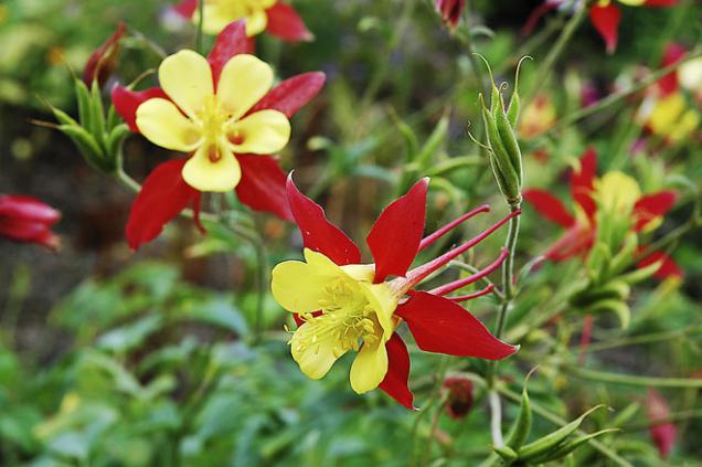 Orlíčků se pěstují desítky původních druhů ikultivarů vmnoha barvách. Vpozdním jarním období oživí každou zahrádku.
