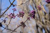 Krásnoplodka pochází zČíny adaří se jí na plném slunci ve vlhké,úživné, neutrální či kyselé půdě.