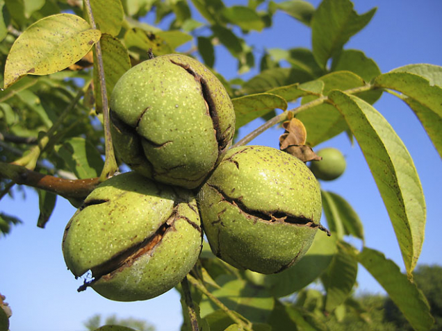 Sklizeň ořechů nastává vzáří, upozdnějších odrůd vříjnu. Oplodí při dozrávání praská aplody spadnou na zem, někdy je třeba pomoci setřásáním.