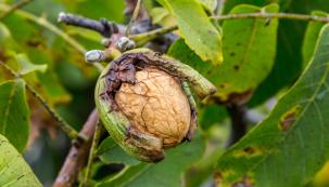 Skořápkoviny jsou dřeviny plodící ořechy. Odečteme-li ty, které rostou vtropech (např. palmy kokosové) či subtropech (podzemnice olejná, přinášející burské oříšky neboli arašídy), pro naše podmínky zbudou dva druhy: ořešák královský (Juglans regia) alíska obecná (Corylus avellana).