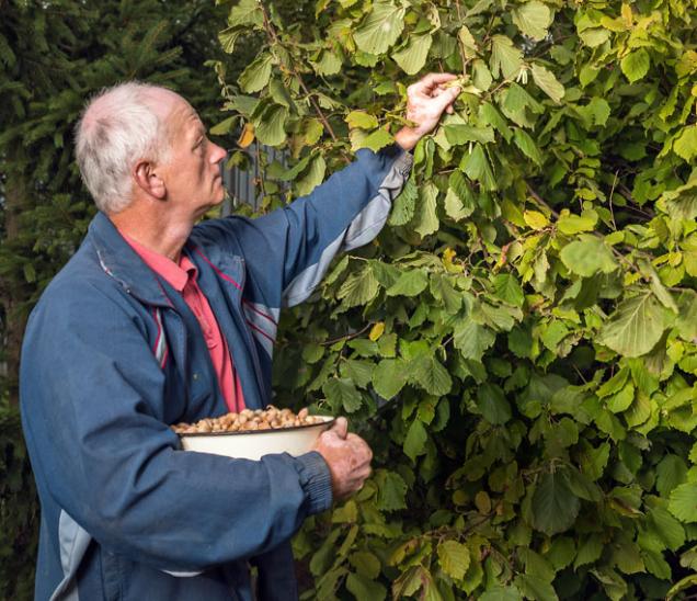 Chorobami skořápkoviny téměř netrpí, ale oúrodu vás mohou připravit škůdci, zejména vzahradách blízko lesů. Je to nejen známá veverka, ale imenší anenápadnější plšík lískový abrouk nosatec lískový, jehož larvy žijí vplodech.