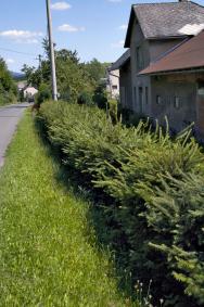 Živý plot ze stříhaných smrků má smysl jen vhorských apodhorských vesnicích, kde je chladné avlhké klima. Vsoučasnosti je však smrk napadán škůdci natolik, že se vyplatí vybrat odolnější dřevinu.