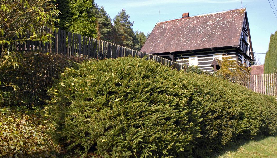 Živé ploty zelené po celý rok