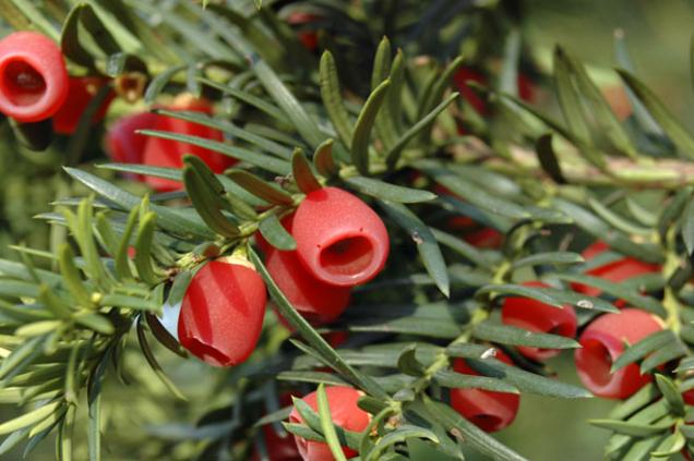 Tis je naopak dobrá volba, roste pomalu, ale vydrží dlouhá léta. Plody tisu jsou kouzelné, ale musíte mít poblíž sebe samičí asamčí rostlinu.