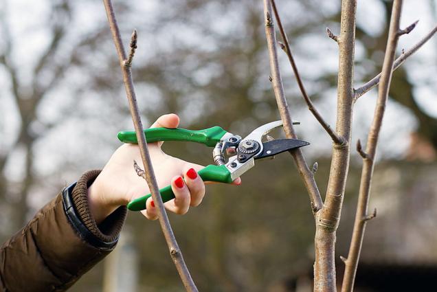 Vprosinci si můžete připravit rouby ovocných dřevin pro jarní roubování.