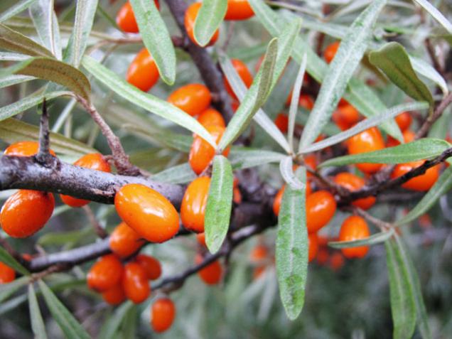 Plody rakytníku obsahují celou řadu pro zdraví cenných látek.