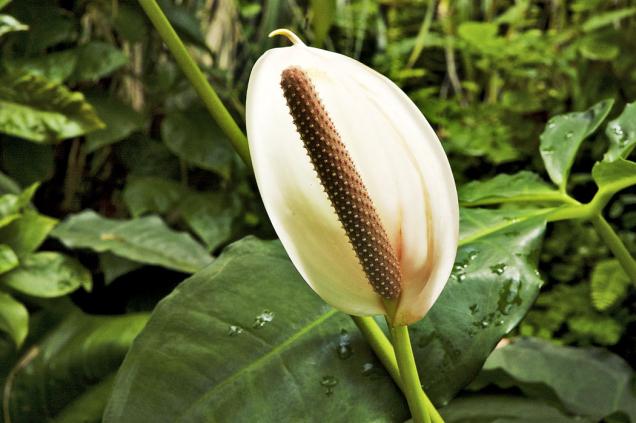 Anthurium ornatum zdobí toulce něžně pleťově růžové.