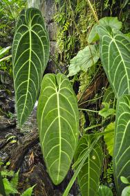 Anthurium warocqueanum má nejdelší listy ze všech anturií. Metrová délka je běžná, ale vpřírodě dorůstají mnohem více.