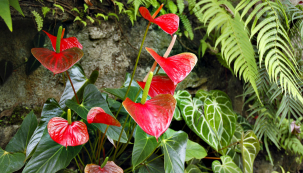 Barevná květenství anturií vynikají trvanlivostí, odrůdy vyšlechtěné jako hrnkové květiny postupně vykvétají několik měsíců. Zde hybrid Anthurium andreanum.