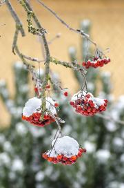 Bohatá nadílka jeřabin přináší potěšení nejen lidem obdivujícím krásu zasněžené zahrady, ale především kosům a kvíčalám, pro něž jsou vítanou delikatesou.