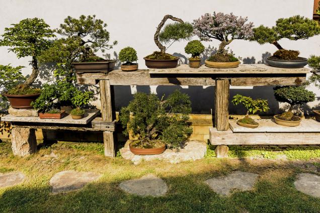 Sbírky bonsají si majitel velmi cení: najdeme tu například habr obecný (Carpinus betulus), šeřík (Syringa), borovici lesní (Pinus sylvestris) či borovici blatku (Pinus uncinata)