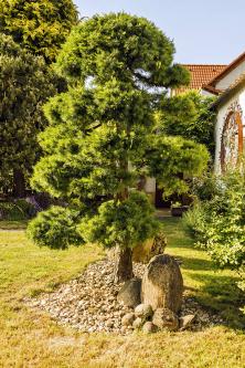 Na rozkvetlé zahradě se najde místo i pro solitéry – modřín opadavý (Larix decidua)