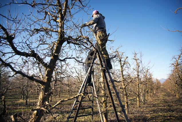 Zimní měsíce jsou všeobecně považovány za dobu spánku. Při pohledu zblízka ovšem zjistíme, že tento spánek je pouze zdánlivý. Vzimě probíhá růst kořenového systému astromy se připravují na další vegetační období, ale budoucí úroda už je založena vpupenech, které se vytvořily vminulém roce.