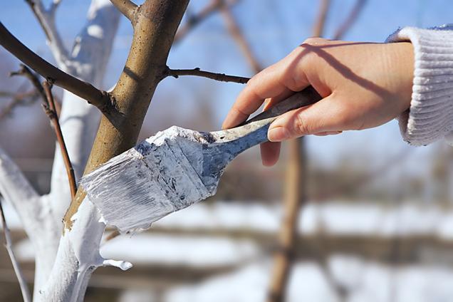 Větší řezné plochy je dobré zatřít stromovým balzámem a ošetřit štěpařským voskem.