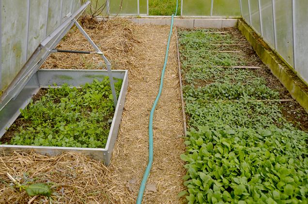 U teplomilnějších zelenin si můžeme pomoci dvojitou ochranou – pařníkem ve skleníku.