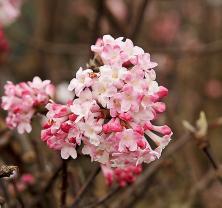 Kaliny vykvétají hned, jak se na jaře či ještě vzimě oteplí, a krásně zavoní zahradou.
