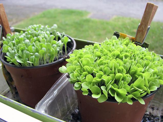 Různé kultivary salátů si pro okraje sezony a pěstování ve skleníku vysejete doma, později pro letní sezonu můžete sadbu pěstovat ivenku.