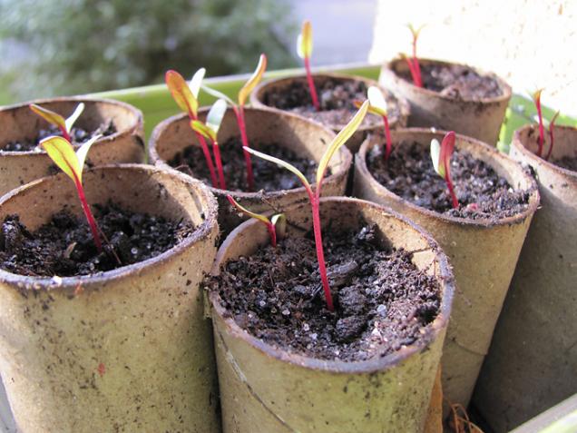 Mangold (též odrůdy bílé, červené i žluté) si můžete pro urychlení růstu předpěstovat, ale lze ho vysévat i přímo na záhon.