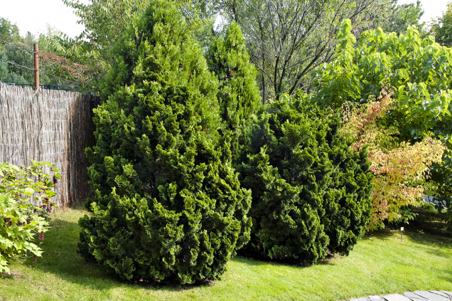 Cypřišek tupolistý (Chamaecyparis obtusa) se pěstuje vmnoha kultivarech. Vyobrazený ´Nana Gracilis´ je drobný akompaktní, hodí se idopředzahrádek.