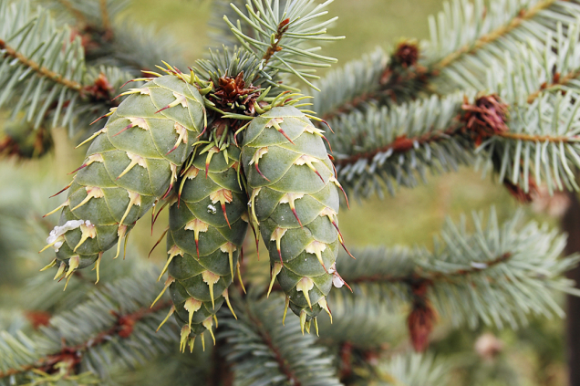 Douglaska tisolistá (Pseudotsuga menziesii) pochází ze Severní Ameriky aunás se stala nepříjemnou plevelnou dřevinou vnárodním parku Českosaské Švýcarsko, kde vytlačuje původní druhy dřevin.