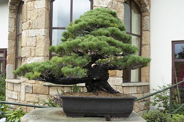 Jehličnany můžete pěstovat ivnádobách, naDálném východě již postaletí tvarují nádherné bonsaje. Jsou však mnohem náročnější napéči, především nazálivku. Ijehličnany vhodně velkých nádobách je třeba zalévat celoročně, vzimě častěji uhynou nauschnutí než napoškození mrazem. Donádob natrvalé pěstování pečlivě vyberte druh ikultivar vhodný dokonkrétních podmínek.