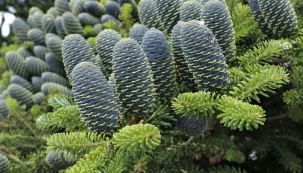 Jedle korejská (Abies koreana) je oblíbený okrasný jehličnan, který roste pomalu, nedosahuje velkých rozměrů aplodí již vdvoumetrové velikosti. Pochází zJižní Koreje avpřírodě je nahranici vyhynutí.