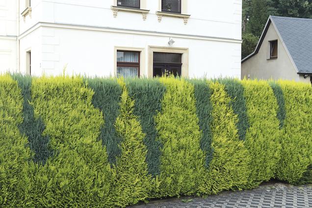 Zerav západní (Thuja occidentalis) se pěstuje vzelených, žlutých astříbrných kultivarech, běžné jsou ibíle variegátní formy.