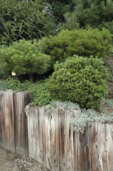 Zakrslé kultivary borovic se vejdou naskalky idomalých předzahrádek.