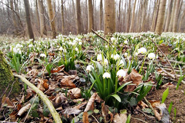 Bledule jarní (Leucojum vernum) vytváří bílé koberce namnoha místech reálky. Krásné porosty spatříte například vPísteckém luhu kolem Ohře nebo vLitovelském Pomoraví.