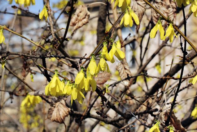 Zlatice (Forsythia) bývá často nazývána zlatý déšť. Tento lidový název sdílí sjinou dřevinou snápadně žlutými květy, jménem štědřenec (Laburnum), nejsou však spolu příbuzné. Zlatice kvete ještě před olistěním, v dubnu bývá obsypána žlutými květy aje v tomto období velmi včelařsky významná.