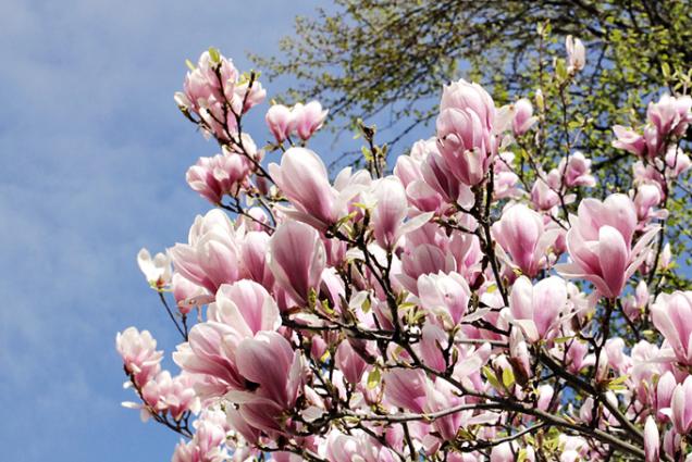 I nádherná magnolie kvete před olistěním.
