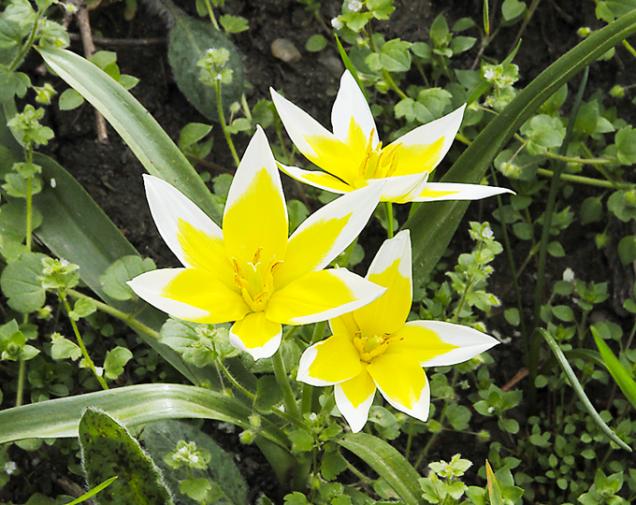 Botanické tulipány (Tulipa)