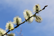 Uvařte si odvar z vrby jívy (Salix caprea)