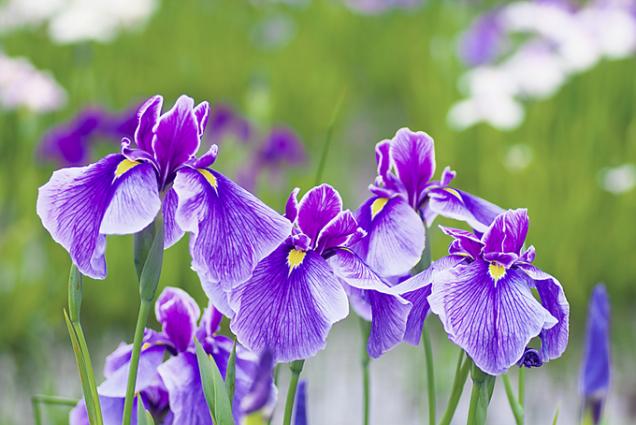 Kosatce (Iris)