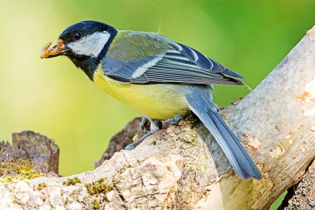 Ptáci se po zimě odvděčí za plná krmítka vyzobáním škůdců. Aby se stále drželi na zahradě, je vhodné někde na klidném místě zřídit napajedlo, kde se mohou i vykoupat.