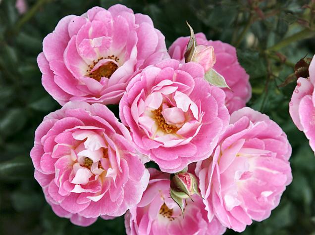 Flirt 2011 (ADR) je zakrslá růže, která se výborně kombinuje slevandulí. Její poloplné rozvolněné květy se vybarvují odstříbřité porůžovou, zvláštní hravost dodává zlatavý střed. Můžete ji súspěchem pěstovat ivnádobě naterase či nabalkoně.