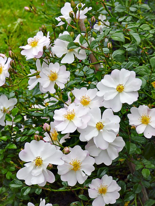 Květy pokryvné růže Medeo (ADR) svým vzhledem ivelikostí připomínají jabloň. Růži si zamilujete nejen pro její jemnou krásu, perfektní odolnost imrazuvzdornost, ale ipro její nevšední vůni. Je to jedna zmála půdopokryvných růží, kterou cítíte nadálku. Zasaďte si ji tedy kesvému oblíbenému posezení avnímejte její krásný parfém. Jednoduché květy budou pastvoupro včely.