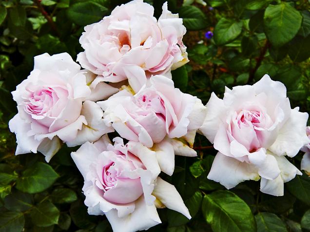 Porcelánově růžové květy záhonové růže Constanze Mozart upoutají vaši pozornost intenzivní vůní vovocných asladkých tónech. Můžete ucítit mirabelku, švestku, citronovou verbenu nebo květ černého bezu. Krásně vynikne vkombinaci stmavomodrými trvalkami (šalvěj, kakost, levandule).