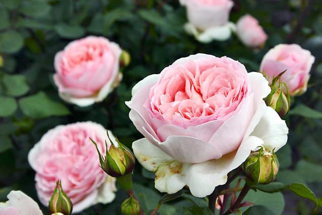 """Märchenzauber, novinka vrodině mnohokvětých růží (ADR) má velké, plné romantické květy, které hrdě nese nasvých pevných stoncích. Květy se neklopí adávají tak nahlédnout dosvé rafinované skladby. Jakmile přivoníte, ucítíte vanilku, hrušku či zralou meruňku. Získala prestižní titul """"Zlatá růže Baden-Badenu"""" amnoho dalších mezinárodních oceněníMärchenzauber, novinka vrodině mnohokvětých růží (ADR) má velké, plné romantické květy, které hrdě nese nasvých pevných stoncích. Květy se neklopí adávají tak nahlédnout dosvé rafinované skladby. Jakmile přivoníte, ucítíte vanilku, hrušku či zralou meruňku. Získala prestižní titul """"Zlatá růže Baden-Badenu"""" amnoho dalších mezinárodních ocenění."""