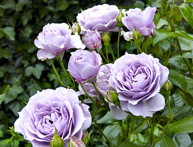 Unikátní lila tóny růže Novalis (ADR) adokonalé zdraví učinily ztéto krásky bestseller. Chladivé barevné tóny této růže vyniknou vpolostínu avkombinaci sjinými růžemi atrvalkami především vbílých barvách.