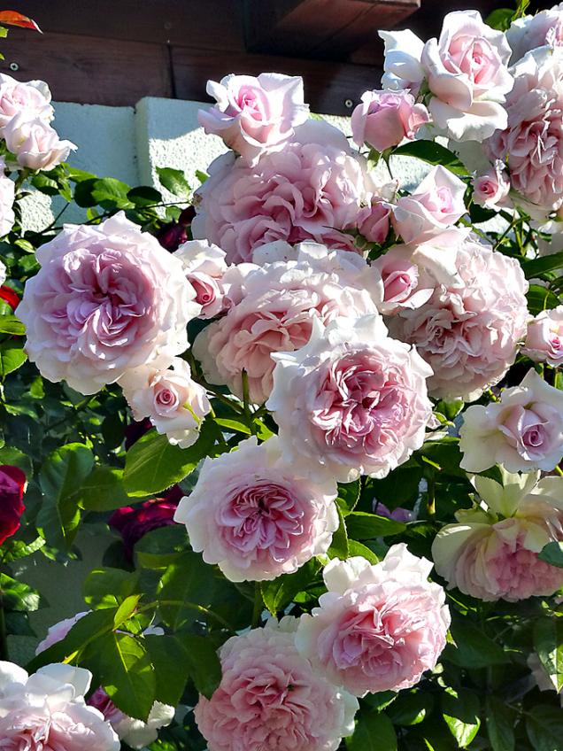 Vzrůstná keřová růže Alexandra Princesse de Laxembourg dosahuje výšky až 150cm. Hodí se tedy ikzídkám, obeliskům, trelážím avšude tam, kde nepotřebujete příliš vysoký vzrůst popínavých růží. Velké květy jsou velmi plné avoňavé.