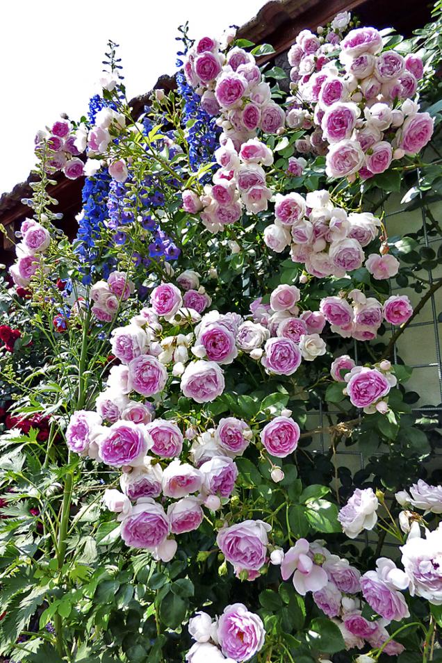 Jasmina (ADR), jedna znejkrásnějších romantických pnoucích růží, dorůstá do3metrů. Je naprosto zdravá avyniká záplavou pomponkových avoňavých květů vbarvě fialovo-růžové. Zvládá dobře ipolostín. Prostě skvělá!