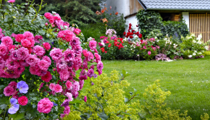 Vpopředí je půdopokryvná růže Knirps štěpovaná nakmínku. Je to jedna znejoblíbenějších drobnokvětých odrůd. Vyniká zdravím aodolností (ADR), množstvím květů, vysokou mrazuvzdorností abarevnou stálostí. Před nedávnem byla vyšlechtěna její rodná sestra vesvětlé růžové Sweet Knirps.