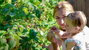 Pěstování malin aostružin má vČechách dlouhou tradici. Plody maliníků dozrávají včervnu ačervenci, dvakrát plodící odrůdy mají druhou úrodu vzáří avříjnu. Na zkušenosti stěmito plody jsme se zeptali Pavla Kukala, zahradníka vareálu Vysoké školy zemědělské vPraze-Suchodole.