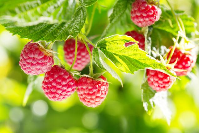 Také maliníky jsou našemu zdraví prospěšné. Obsahují vysoké množství antioxidantů.