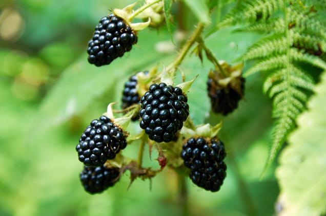 O ostružinách se mluví jako o malém černém zázraku. Čím mají plody sytější barvu, tím více prospěšných látek obsahují.