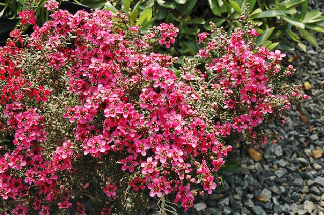 Leptospermum scoparium pochází zNového Zélandu avyhovuje mu anglické vlhké klima. Je ideálním keřem navlhké, stinné dvorky, kam slunce zasvítí jen nachvilku.