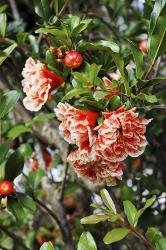 Granátovník je domácí vjihovýchodní Evropě aarabských zemích, je zvyklý naslunce, vedro asušší vzduch. Pěstují se kultivary sdvoubarevnými nebo plnými květy nebo zakrslé.