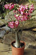 Adenium obesum je nádherný africký sukulent, obsahuje však latex, který se dříve používal jako šípový jed.