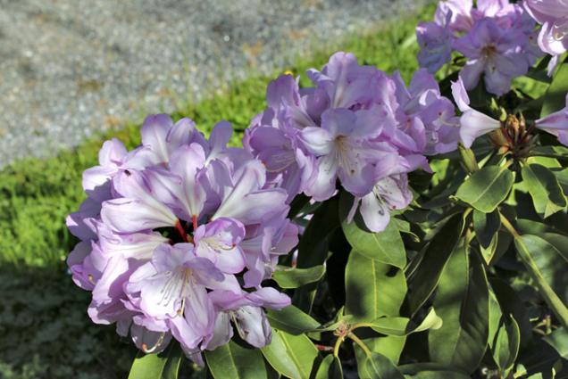 Dva ze souboru asi 250 rododendronů patří mezi ty nejkrásnější.